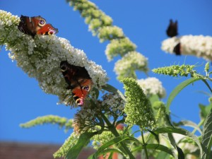 Buddleia:  butterfly heaven