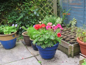 Nearly September and the geraniums have only just reached full bloom