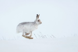 The magnificent mountain hare