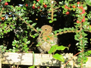 My brave little fledgling singing for his supper