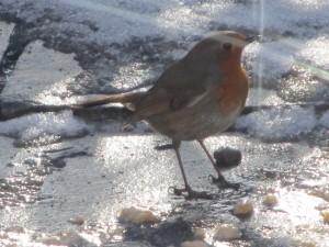 Quintessential winter visitor