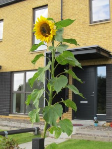 Sunflower on the Terrace