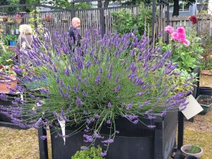 A bee-friendly lavender
